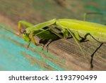 a female mantis. predatory... | Shutterstock . vector #1193790499