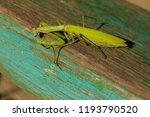 a female mantis. predatory... | Shutterstock . vector #1193790520