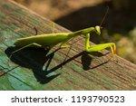 a female mantis. predatory... | Shutterstock . vector #1193790523