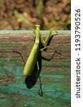 a female mantis. predatory... | Shutterstock . vector #1193790526