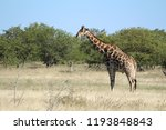 giraffe in their natural habitat | Shutterstock . vector #1193848843