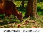 red cow wildlife rare. wildlife ... | Shutterstock . vector #1193853610