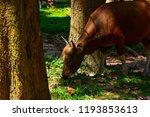 red cow wildlife rare. wildlife ... | Shutterstock . vector #1193853613
