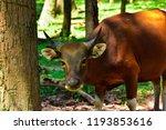 red cow wildlife rare. wildlife ... | Shutterstock . vector #1193853616