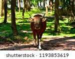 red cow wildlife rare. wildlife ... | Shutterstock . vector #1193853619