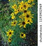 these showy goldeneye ... | Shutterstock . vector #1193902969