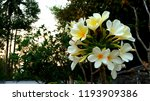 the beatiful plumeria flowers ... | Shutterstock . vector #1193909386
