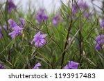mexican petunia flower plants... | Shutterstock . vector #1193917483