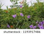mexican petunia flower plants... | Shutterstock . vector #1193917486