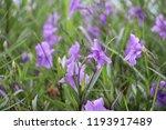 mexican petunia flower plants... | Shutterstock . vector #1193917489