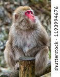 snow monkeys in a natural onsen ... | Shutterstock . vector #1193994676