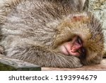 snow monkeys in a natural onsen ... | Shutterstock . vector #1193994679