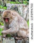 snow monkeys in a natural onsen ... | Shutterstock . vector #1193994703