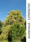 golden weeping cypress tree ...   Shutterstock . vector #1194030763