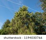 golden weeping cypress tree ...   Shutterstock . vector #1194030766