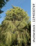 golden weeping cypress tree ...   Shutterstock . vector #1194030769
