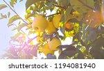 delicious yellow apples hanging ... | Shutterstock . vector #1194081940
