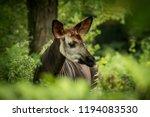 okapi  okapia johnstoni  ... | Shutterstock . vector #1194083530
