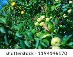ripe fruits of green apples on... | Shutterstock . vector #1194146170