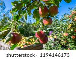 ripe fruits of red apples on... | Shutterstock . vector #1194146173