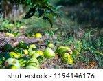 ripe fruits of green apples... | Shutterstock . vector #1194146176