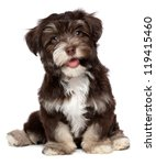 Stock photo a beautiful smiling dark chocolate havanese puppy dog is sitting isolated on white background 119415460