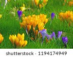 a garden in spring with yellow... | Shutterstock . vector #1194174949