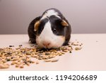 funny guinea pig sitting on a... | Shutterstock . vector #1194206689