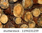 felled logs of trees in the... | Shutterstock . vector #1194231259