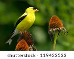 Goldfinch And Cone Flowers