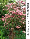 sakura flowers in botanic... | Shutterstock . vector #1194306040