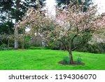 sakura flowers in botanic... | Shutterstock . vector #1194306070