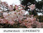 sakura flowers in botanic... | Shutterstock . vector #1194306073
