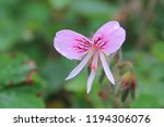 flowers in botanic gardens  san ... | Shutterstock . vector #1194306076