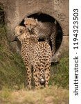 cheetah cub nuzzles mother from ... | Shutterstock . vector #1194323503