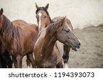 chestnut horses pack herd farm... | Shutterstock . vector #1194393073
