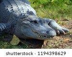 an alligator is a crocodilian... | Shutterstock . vector #1194398629