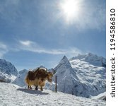 shaggy and calm animal  similar ... | Shutterstock . vector #1194586810