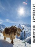 shaggy yak stands on the... | Shutterstock . vector #1194586819