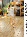 Stock photo kitten leaps in the air cat jumping and playing at home love cats and humans relationship lovely 1194638803