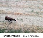 domestic animal  ruminant and... | Shutterstock . vector #1194707863