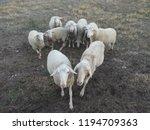 ruminant domestic mammalia.... | Shutterstock . vector #1194709363