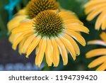 yellow echinacia flower in the... | Shutterstock . vector #1194739420