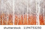 A Grove Of Young Aspen Trees...