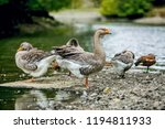 flock of domesticated chinese... | Shutterstock . vector #1194811933