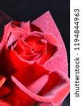 red rose bouquet | Shutterstock . vector #1194844963
