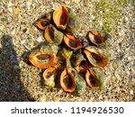 rapana venosa. veined rapa... | Shutterstock . vector #1194926530