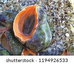 rapana venosa. veined rapa... | Shutterstock . vector #1194926533