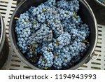 harvest of merlot in tuscany | Shutterstock . vector #1194943993