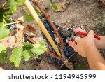 harvest of merlot in tuscany | Shutterstock . vector #1194943999